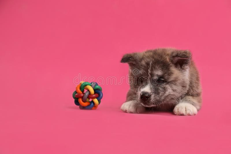 Cute Akita inu puppy with toy on background. Friendly dog. Cute Akita inu puppy with toy on pink background. Friendly dog royalty free stock image