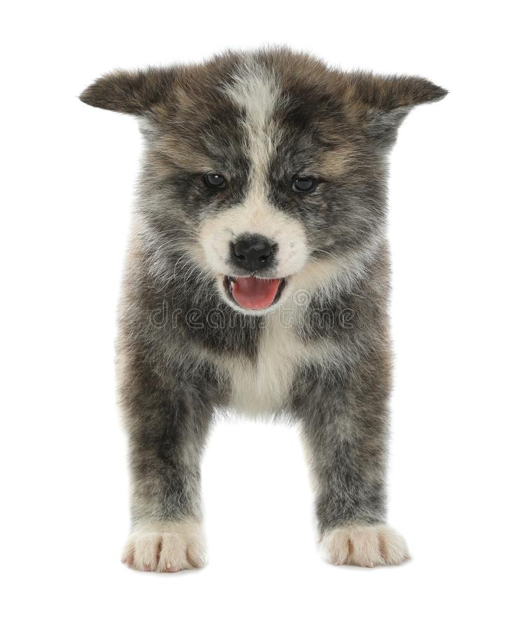 Cute Akita inu puppy on background. Friendly dog. Cute Akita inu puppy on white background. Friendly dog royalty free stock photos