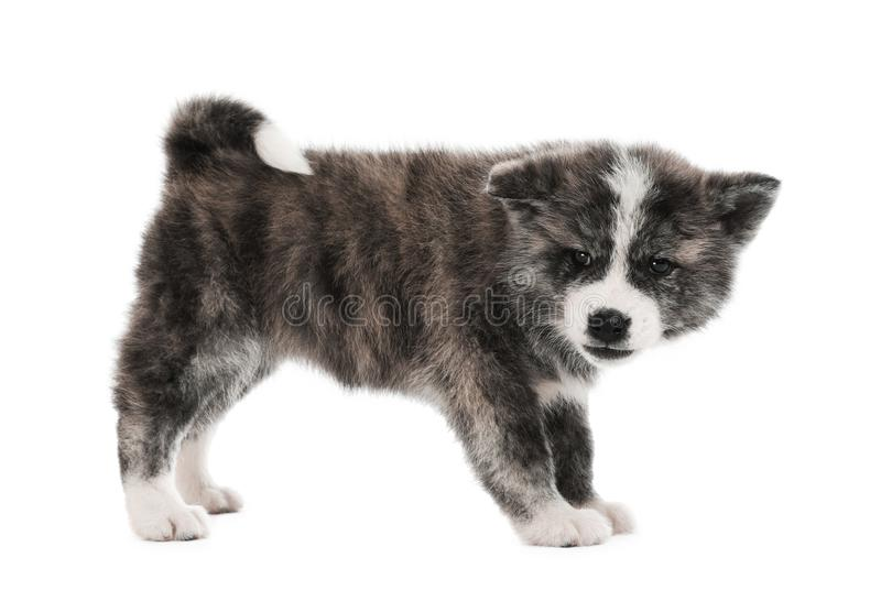 Cute Akita inu puppy on background. Friendly dog. Cute Akita inu puppy on white background. Friendly dog royalty free stock images