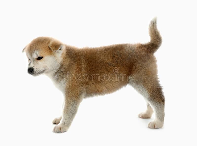 Cute Akita inu puppy on background. Friendly dog. Cute Akita inu puppy on white background. Friendly dog stock photography