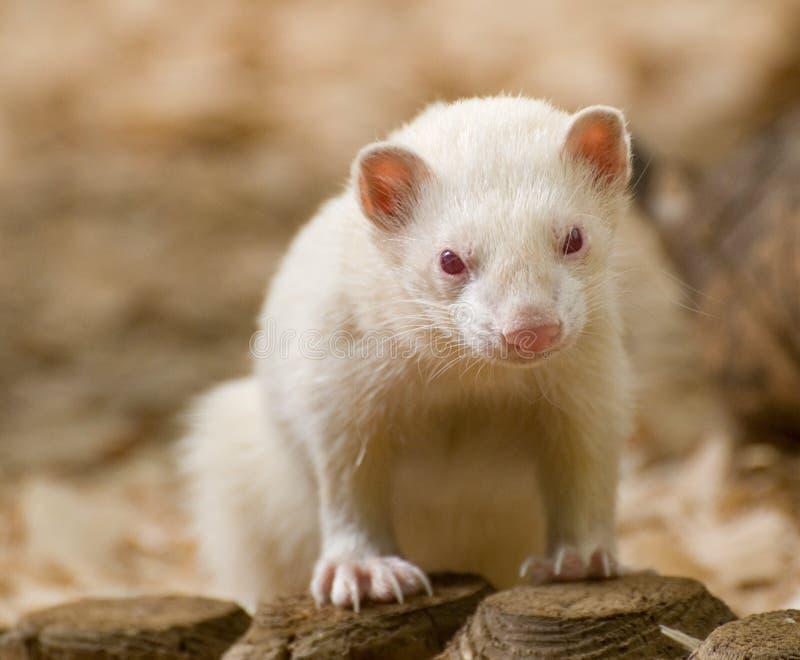 Cute Albino Ferret