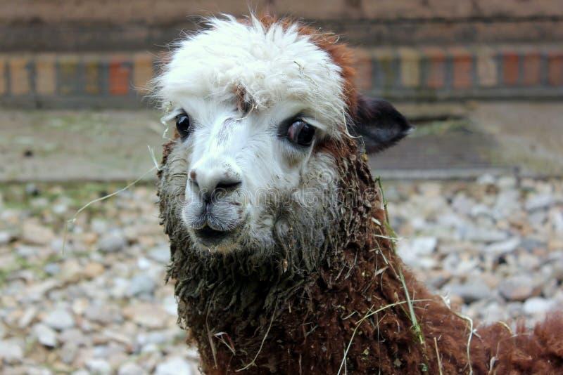 CUTE ALPACA LAMA ANIMAL PORTRAIT royalty free stock photography