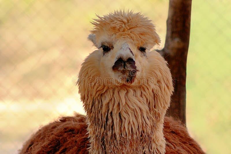 Cute Alpaca na exploração imagens de stock royalty free