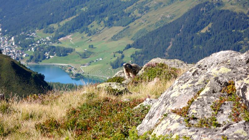 Cute alpine marmot greets hikers outside of ist burrow in the Swiss Alps in summer with the town of Davos and the lake of Davos in royalty free stock photos
