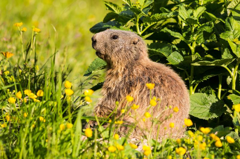 Cute alpine marmot in Malbun, Liechtenstein stock images