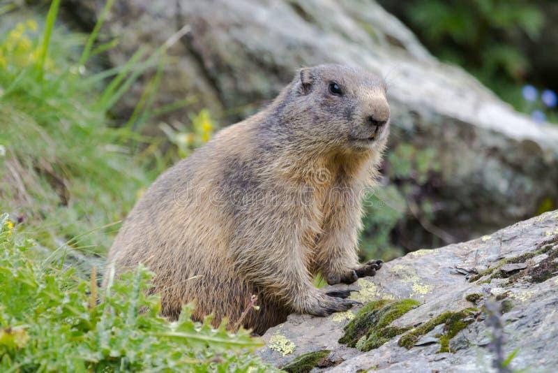 Cute alpine marmot on a rock stock photography