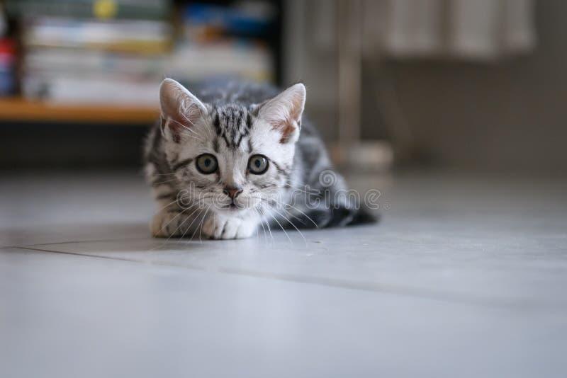 Cute American cat Kitten stock photos