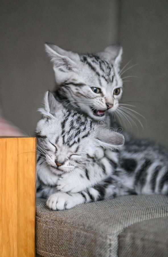 Cute American cat Kitten stock photography