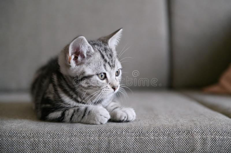 Cute American cat Kitten royalty free stock images