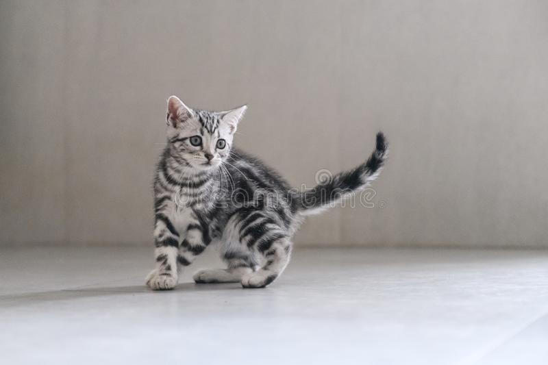 Cute American cat Kitten royalty free stock photography