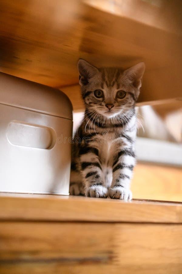 Cute American cat Kitten stock image