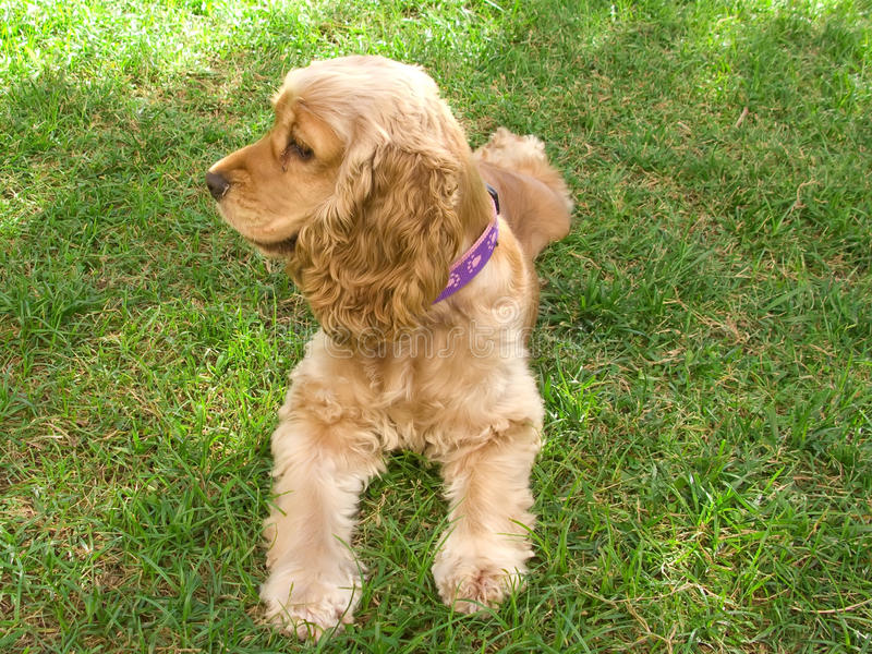 Cute american Cocker Spaniel puppy royalty free stock photography