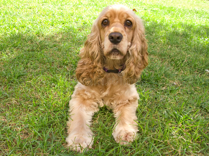 Cute american Cocker Spaniel puppy stock photos