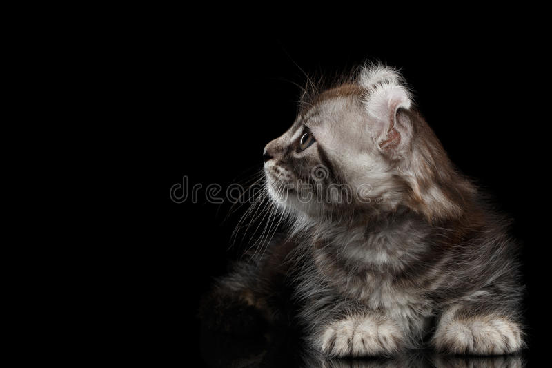 Cute American Curl Kitten with Twisted Ears Black Background. Cute American Curl Kitten with Twisted Ears Lying and Looking at side on Black Background with stock images