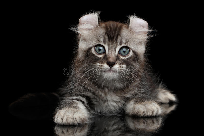 Cute American Curl Kitten with Twisted Ears Black Background. Cute American Curl Kitten with Twisted Ears Lying on Black Background with reflection stock photos