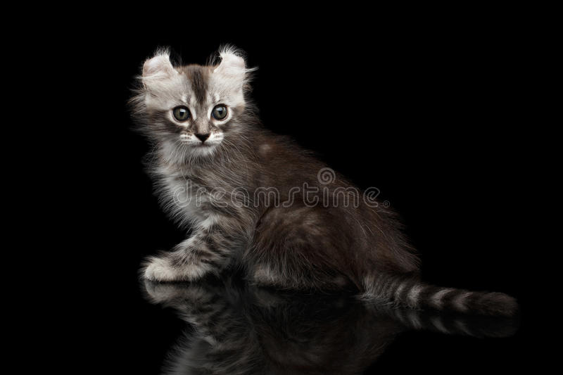 Cute American Curl Kitten with Twisted Ears Black Background. Cute American Curl Kitten with Twisted Ears Sitting and Looking at side, tabby tail, on Black stock photo