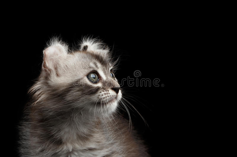 Cute American Curl Kitten with Twisted Ears Isolated Black Background. Closeup American Curl Kitten with Twisted Ears and Blue eyes Looking up Isolated Black royalty free stock photography