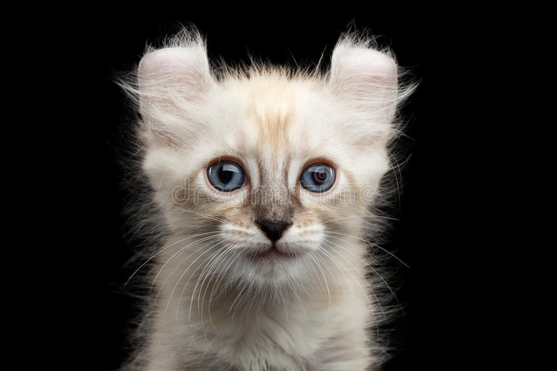 Cute American Curl Kitten with Twisted Ears Isolated Black Background. Closeup Portrait of Cute American Curl White Kitten with Twisted Ears and Blue eyes stock images