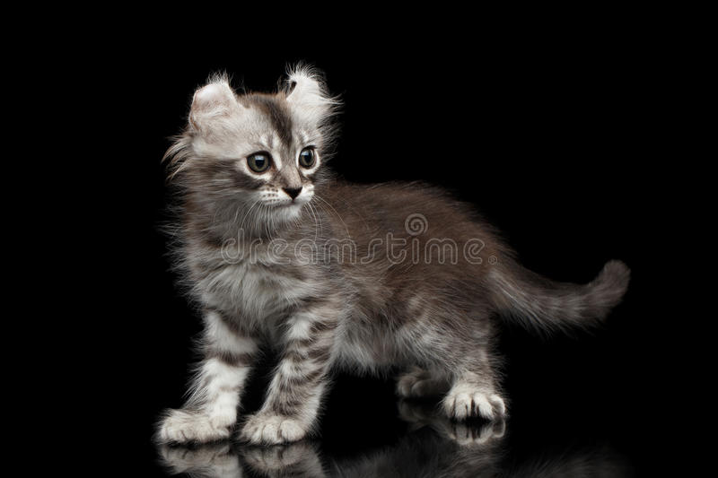 Cute American Curl Kitten with Twisted Ears Isolated Black Background. Playful American Curl Kitten with Twisted Ears Standing on Isolated Black Background stock photography