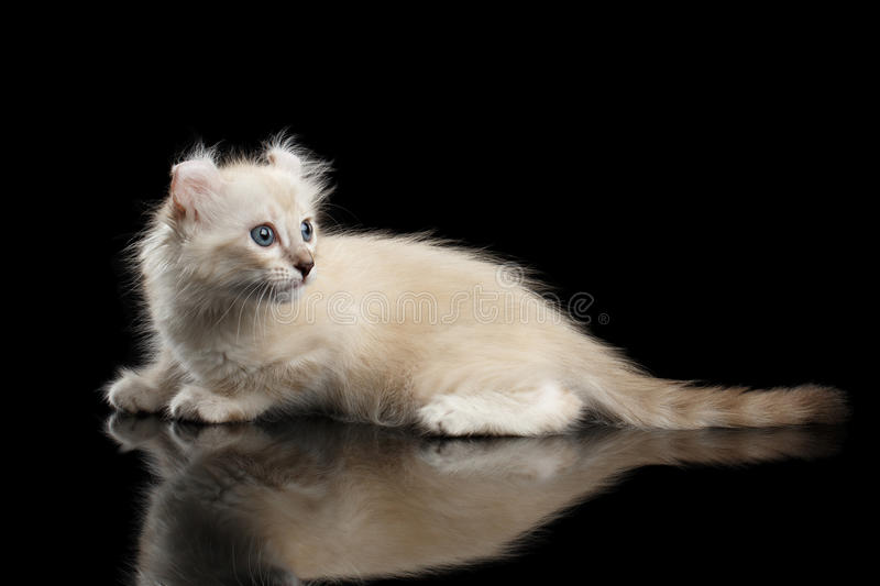 Cute American Curl Kitten with Twisted Ears Isolated Black Background. Cute American Curl White Kitten with Twisted Ears and Blue eyes Lying on Mirror, Looking royalty free stock images