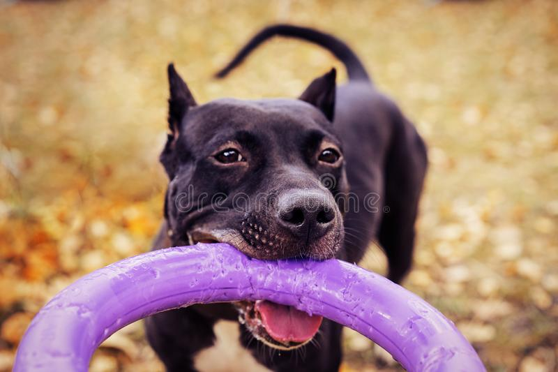 Cute American pit bull terrier dog with puller toy in teeth in the autumn park. Young playful dog pulls toy stock photos