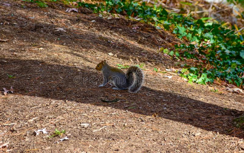 Cute American Red Squirrel in autumn eating acorn. royalty free stock image