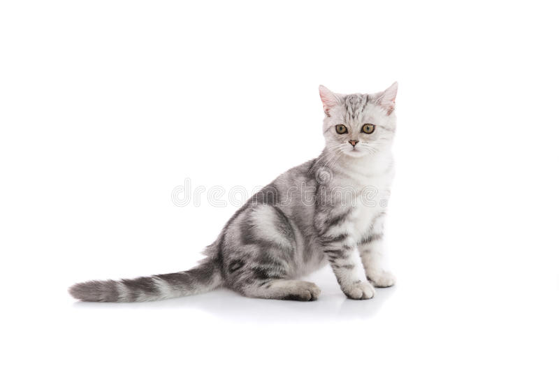 Cute american shorthair cat isolated royalty free stock photography