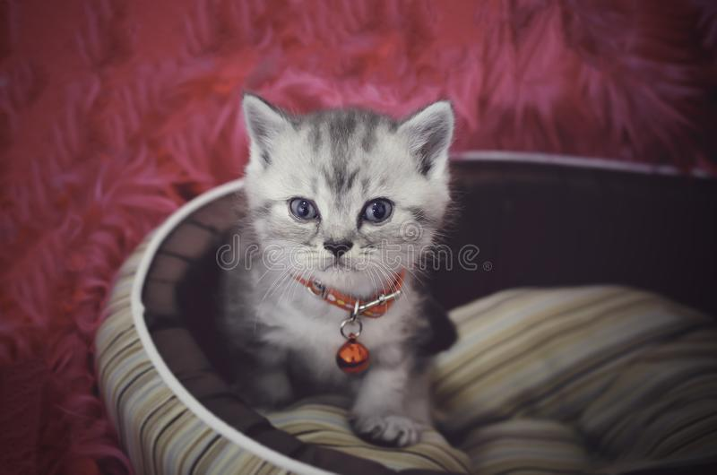 Cute American shorthair cat kitten on bed with pink background royalty free stock image