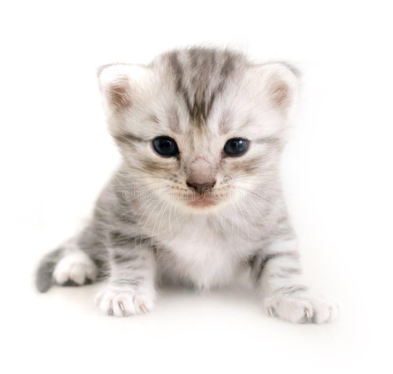 Cute American shorthair cat kitten royalty free stock image