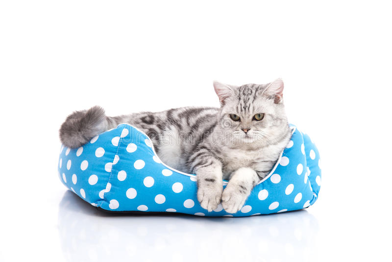 Cute American Shorthair kitten lying in cat bed royalty free stock images