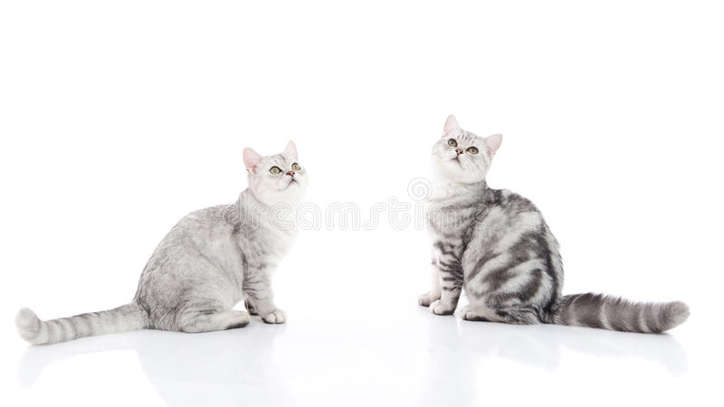 Cute American Shorthair kittens sitting royalty free stock photo