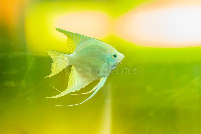 Cute angelfish (Pterophyllum) fish, a small genus of freshwater stock images