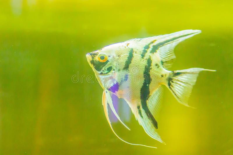 Cute angelfish (Pterophyllum) fish, a small genus of freshwater royalty free stock photo