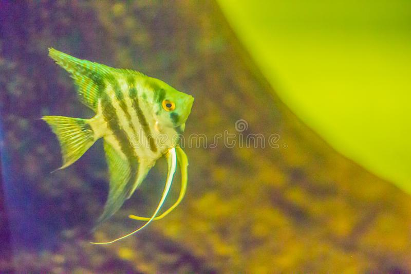 Cute angelfish (Pterophyllum) fish, a small genus of freshwater stock photo