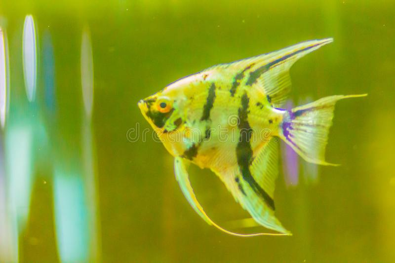 Cute angelfish (Pterophyllum) fish, a small genus of freshwater royalty free stock photography