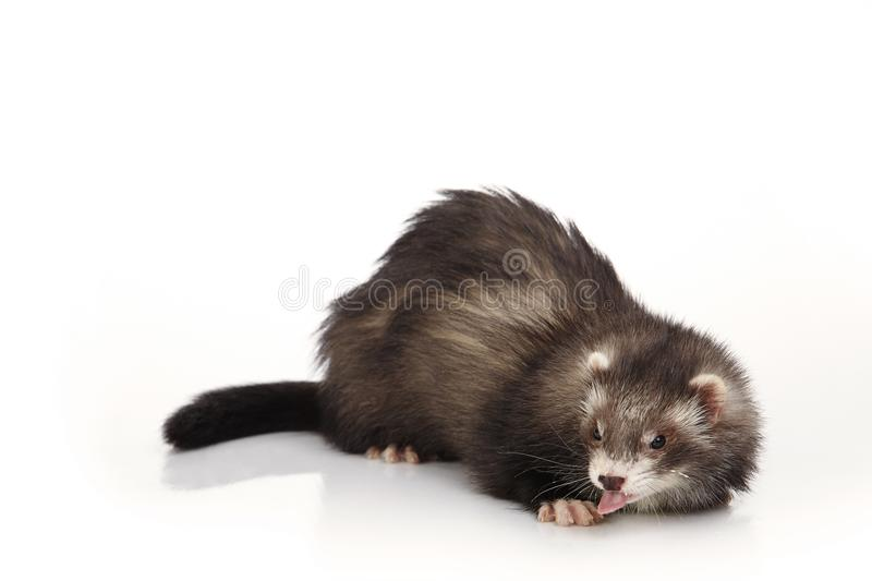 Cute angora ferret posing on white background. Dark angora ferret on white background posing for portrait in studio royalty free stock photo