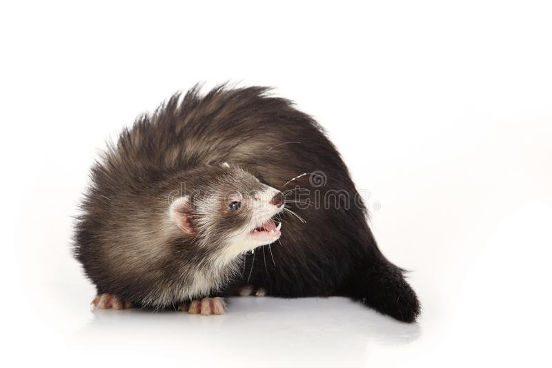 Cute angora ferret posing on white background. Dark angora ferret on white background posing for portrait in studio royalty free stock photography