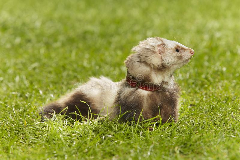 Cute angorra ferret on green grass in spring park. Nice angora ferret on fresh green grass in spring park stock image