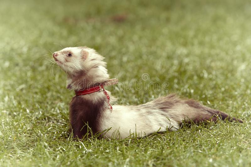 Cute angorra ferret on green grass in spring park. Nice angora ferret on short green grass in spring park royalty free stock photography