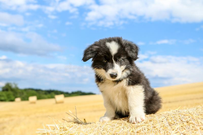 Cute angry puppy on a hay bale. A cute puppy is sitting on the hay bale and looking a bit angry stock photography