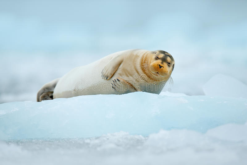 Cute animal lying on the ice. Blue icebreaker with seal. cold winter in Europe. Bearded seal on blue and white ice in Arctic Finla. Nd stock images
