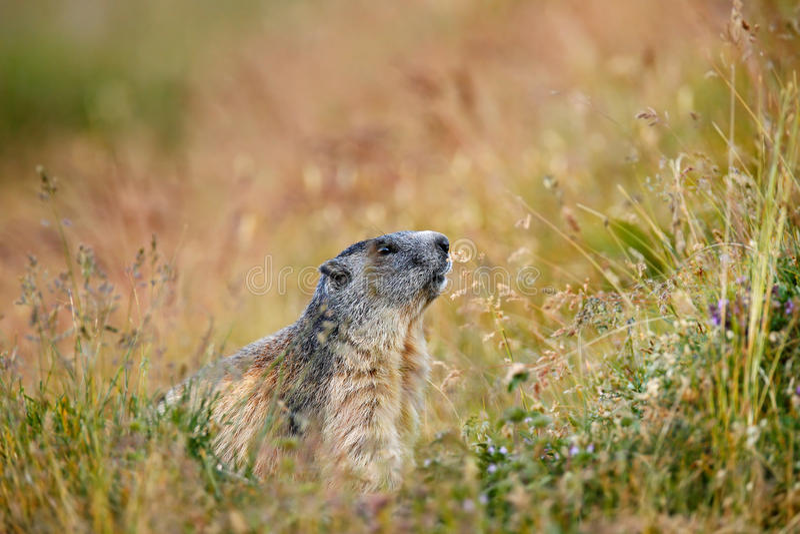 Cute animal Marmot, Marmota marmota, sitting in he grass, Gran Paradiso, Italy. Alp, Europe royalty free stock photo