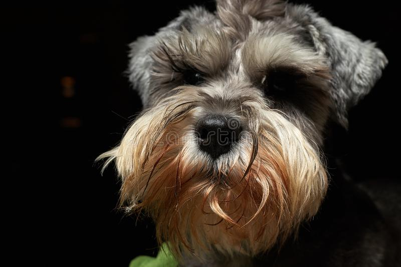 Cute animal schnauzer dog stock photos