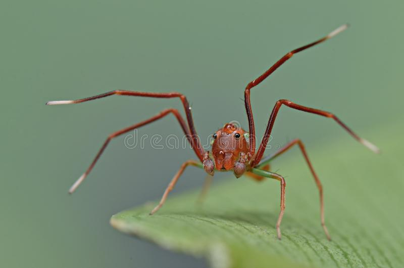 A cute ant mimic spider on green leaf. Ant mimicry or myrmecomorphy is mimicry of ants by other organisms stock photos