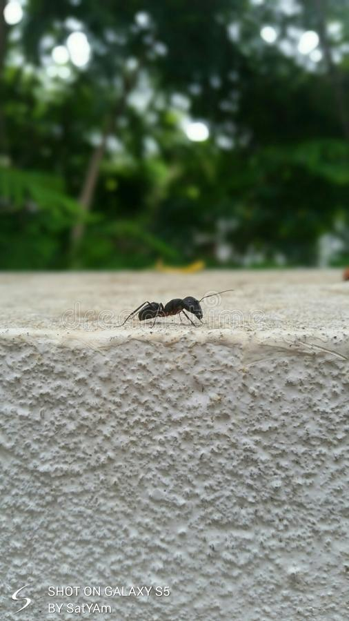 An ant is walking on wall. Cute ant walks on wall stock photography
