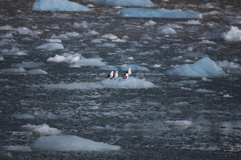 Cute arctic birds resting on a small iceberg. Svalbard. Norway royalty free stock photo