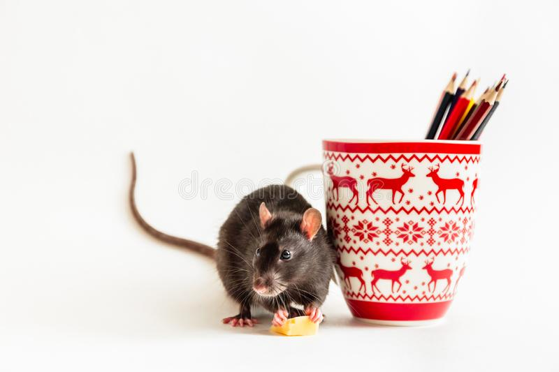 Cute artist rat eats a piece of cheese near a New Year`s cup with colored pencils on a white background stock photo