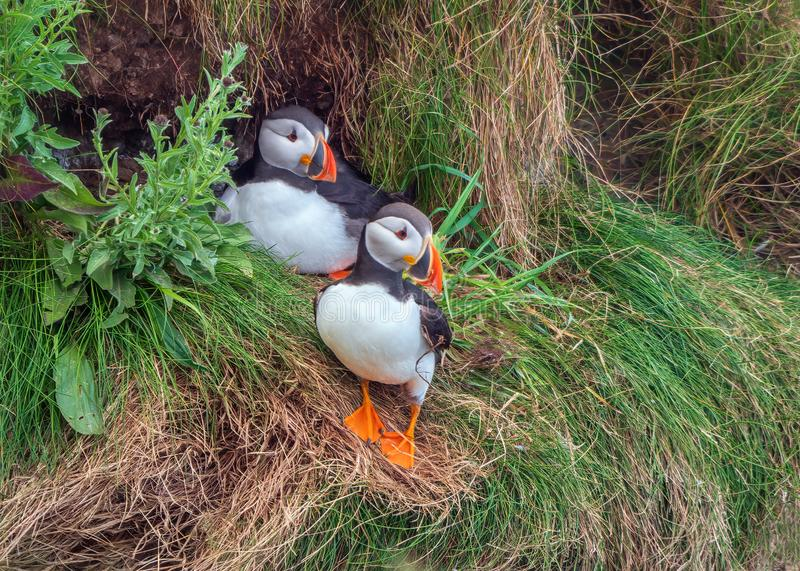 Atlantic Puffins - Fratercula arctica by their nest on Bempton Cliffs in Yorkshire, England. Cute Atlantic Puffins - Fratercula arctica in summer plumage by the stock image