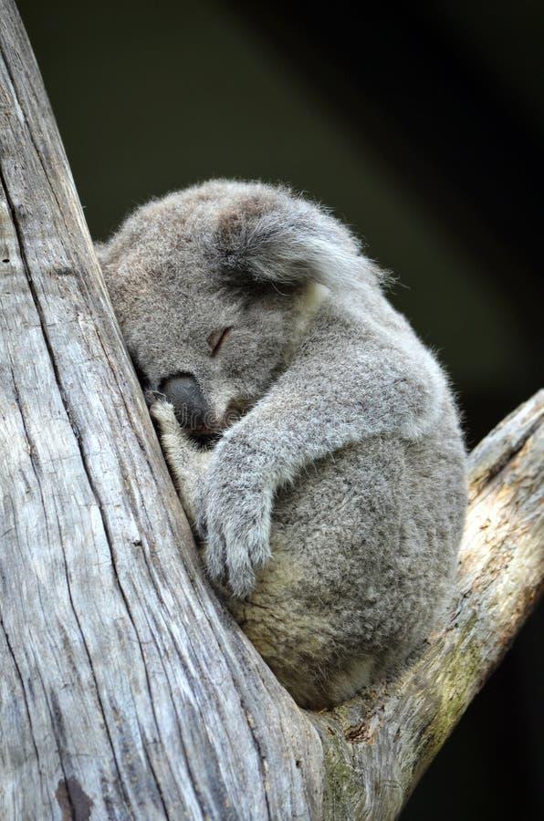 Cute Australian Koala sleeping in a gum tree royalty free stock images