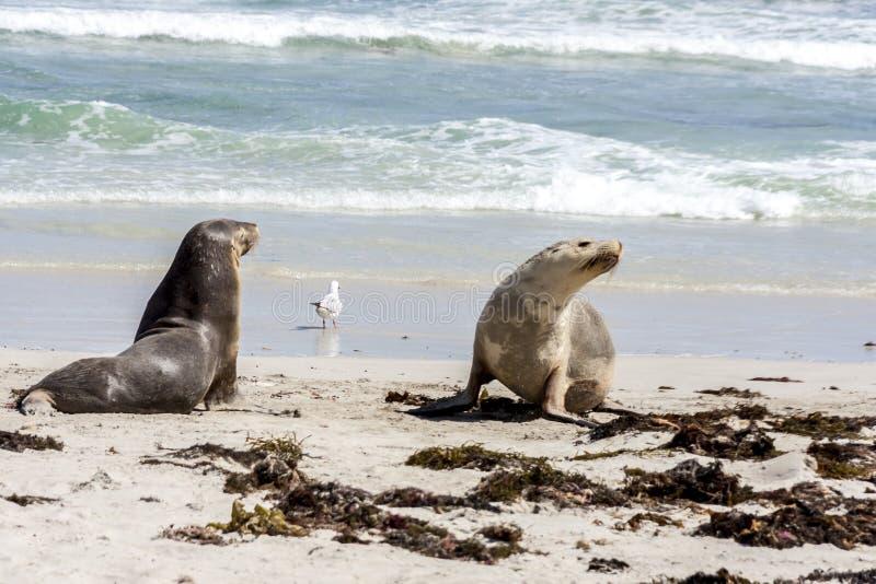 Cute Australian Sea Lions Neophoca cinerea on Kangaroo Island coastline, South Australia , Seal bay stock photo